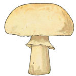 Button Mushroom from The Tale of the Mushroom Folk by Signe Aspelin