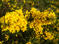 Treating Depression Naturally - Gorse