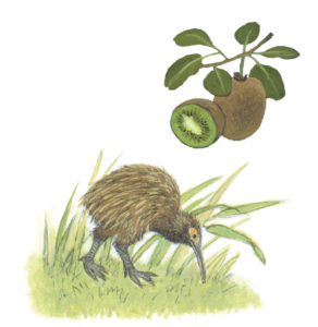 Kiwi illustration from How Does My Fruit Grow?
