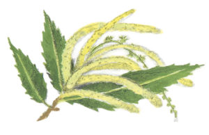 Catkin illustration from How Does My Fruit Grow?